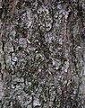 Red Maple Acer rubrum Bark Detail 1842px.jpg
