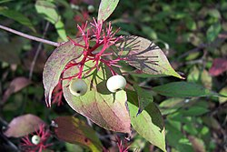 Red Osier Dogwood.jpg