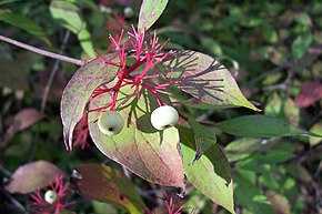 Description de l'image Red Osier Dogwood.jpg.