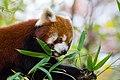 Red Panda (37661802985).jpg