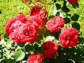 Red Rose flowers 19.jpg