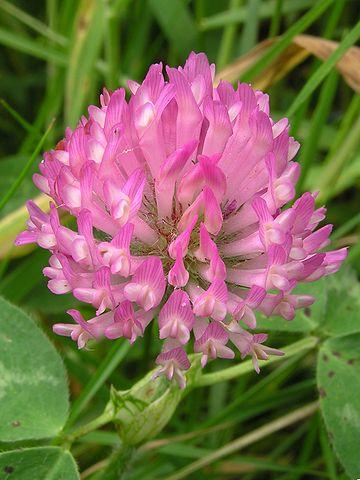 Red Clover - Trifolium