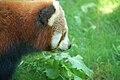 Red panda (Ailurus fulgens) examining dandelion leaves - 20070619.jpg