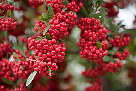 Red pommes of Firethorn (Pyracantha).jpg
