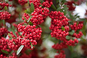 Red pommes of Firethorn (Pyracantha). Shot nea...