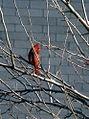 Redbird NYC.jpg