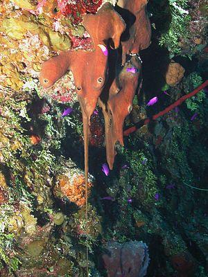 Plakinidae - Plakortis sp.