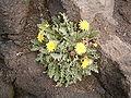 Reichardia ligulata (El Faro) 01 ies.jpg