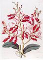 Renanthera coccinea - Bot. Reg. 14 pl. 1131 (1828).jpg