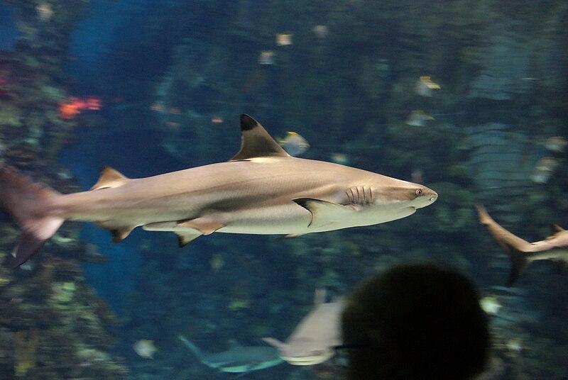 Requin à pointes noires (Carcharhinus melanopterus)
