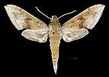 Rhagastis castor aurifera MHNT CUT 2010 0 249 Malaysia dorsal.jpg