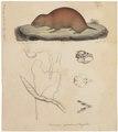 Rhizomys splendens - met schedel en ingewanden - 1700-1880 - Print - Iconographia Zoologica - Special Collections University of Amsterdam - UBA01 IZ20500159.tif