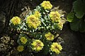 Rhodiola rosea (48036986653).jpg