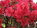 Rhododendron 'Enzette Schloss Pillnitz' 01.JPG
