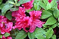 Rhododendron Hahns Red 3zz.jpg