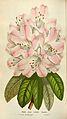 Rhododendron Rosalba.jpg