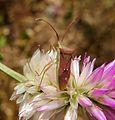 Rice Bug, Cletus rusticus. Coreidae, Coreinae, Gonocerini. - Flickr - gailhampshire (2).jpg