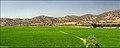 Rice Fields شالیزار - panoramio.jpg