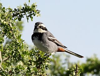 Ringed warbling finch
