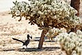 Roadrunner with Gambel's quail chick (21113230218).jpg
