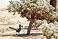 Roadrunner with Gambel's quail chick (21113230218).jpg