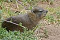 Rock Hyrax (Procavia capensis) (32932737915).jpg