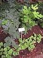 Rodef Shalom Biblical Botanical Garden - IMG 1304.JPG