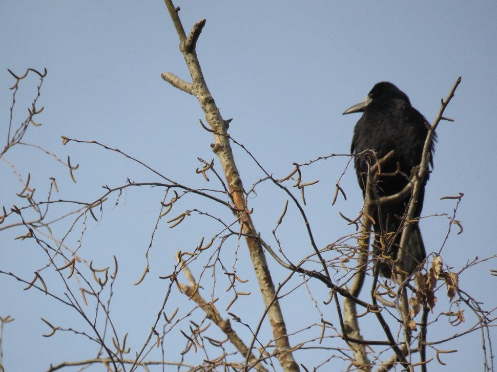 Rook in the grass 13