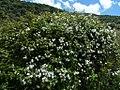 Rosa rubiginosa plant (01).jpg