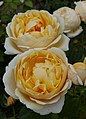 Rosarium Baden Rosa 'Charlotte' Austin 1993 02.jpg