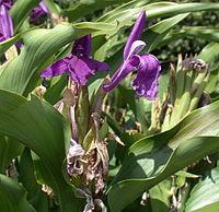 Roscoea purpurea 20070810-1338-183 trimmed.jpg
