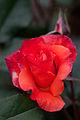 Rose, Princess Mchiko - Flickr - nekonomania.jpg