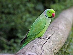 Parakeet - A rose-ringed parakeet (Psittacula krameri).