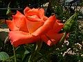 Rose (505722703).jpg