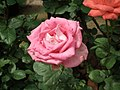 Rose from Lalbagh flower show Aug 2013 8564.JPG