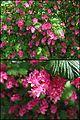 Rote Blüten der Blutjohannisbeere (Ribes sanguineum) - hms(1).jpg