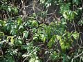 Rourea santaloides (8294569152).jpg