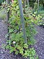 Rubus atrovinosus - Botanischer Garten, Frankfurt am Main - DSC02474.JPG