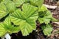 Rubus lasiococcus 9950.JPG