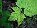 Rubus odoratus 2016-05-09 9979.jpg