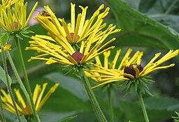 rudbeckia fleur jaune