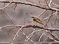 Rufous-backed Redstart (Phoenicurus erythronotus) (31695074942).jpg