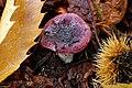 Russula atropurpurea (30734057411).jpg
