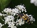 Rutpela maculata (Cerambycidae- Lepturinae) (7570449376).jpg