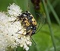 Rutpela maculata mating (24834982537).jpg