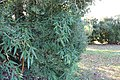 SB VSCC boxwood restoration at Mulberry Hill (15963377140).jpg