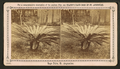 Sago palm, St.Augustine, from Robert N. Dennis collection of stereoscopic views.png