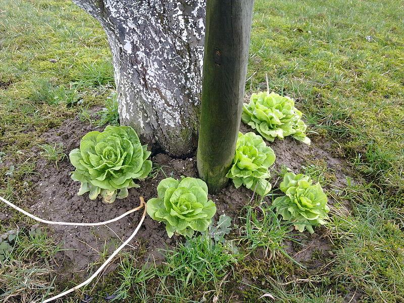 File:Salades et mirabelles.jpg