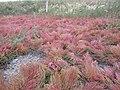Salicornia rubra — Matt Lavin 003.jpg