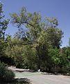 Salix gooddingii.jpg